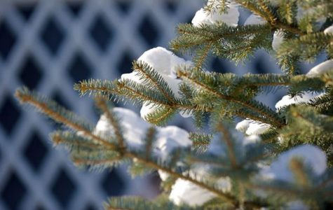 Close-up of pine tree with snow