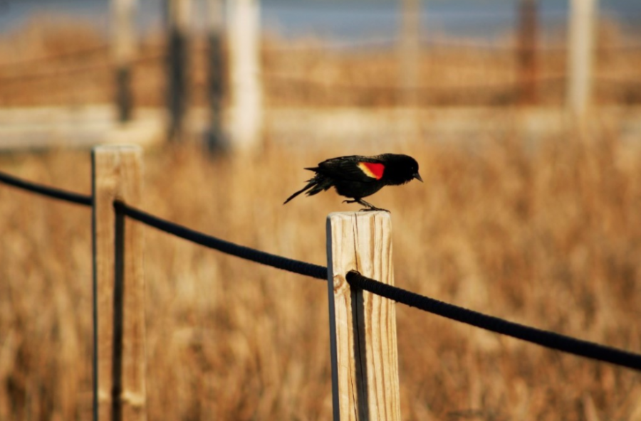 Red-Winged+Blackbird+at+the+Horicon+Marsh